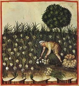 Le potager médiéval : récolte d'oignons. Source : http://data.abuledu.org/URI/50c8ad4f-le-potager-medieval-recolte-d-oignons
