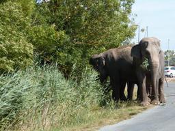 Le repas de deux éléphants de cirque. Source : http://data.abuledu.org/URI/55c11d04-le-repas-de-deux-elephants-de-cirque