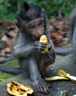 Le singe et la banane. Source : http://data.abuledu.org/URI/516f9630-le-singe-et-la-banane