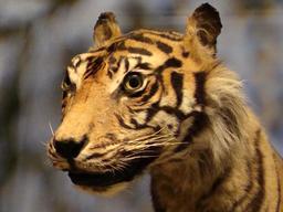 Le tigre de Sumatra. Source : http://data.abuledu.org/URI/5856f612-le-tigre-de-sumatra