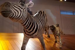 Le zèbre et le chien sauvage africain. Source : http://data.abuledu.org/URI/58570058-le-zebre-et-le-chien-sauvage-africain