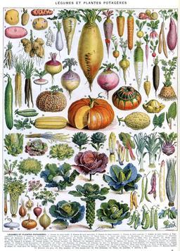 Légumes et plantes potagères. Source : http://data.abuledu.org/URI/519d537c-legumes-et-plantes-potageres