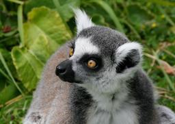 Lémur catta au Parc des Félins. Source : http://data.abuledu.org/URI/54fe8a42-lemur-catta-au-parc-des-felins