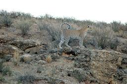 Léoparde et son petit. Source : http://data.abuledu.org/URI/501c3f29-leoparde-et-son-petit