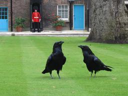 Les corbeaux de la Tour de Londres. Source : http://data.abuledu.org/URI/521a8eb7-les-corbeaux-de-la-tour-de-londres