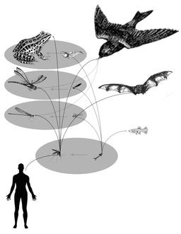 Les moustiques dans la chaîne alimentaire. Source : http://data.abuledu.org/URI/52991221-les-moustiques-dans-la-chaine-alimentaire