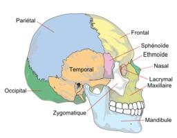 Les os du crâne. Source : http://data.abuledu.org/URI/52cf3f13-les-os-du-crane