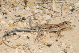 Lézard Acanthodactylus erythrurus. Source : http://data.abuledu.org/URI/552867d0-lezard-acanthodactylus-erythrurus