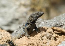 Lézard des îles Canaries. Source : http://data.abuledu.org/URI/52d1798c-lezard-des-iles-canaries