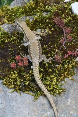 Lézard en train de muer. Source : http://data.abuledu.org/URI/535caff5-lezard-en-train-de-muer