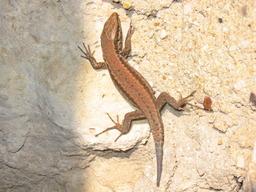 Lézard sur un mur. Source : http://data.abuledu.org/URI/501bdd06-lezard-murs