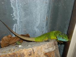 Lézard vert. Source : http://data.abuledu.org/URI/535cb8f2-lezard-vert
