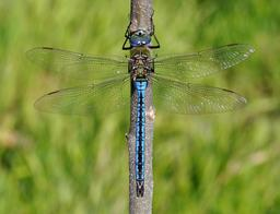 Libellule Anax imperator. Source : http://data.abuledu.org/URI/52d17216-libellule-anax-imperator