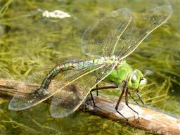 Libellule Anax imperator femelle. Source : http://data.abuledu.org/URI/52d17303-libellule-anax-imperator-femelle