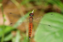 Libellule en Inde. Source : http://data.abuledu.org/URI/58763b6f-libellule-en-inde