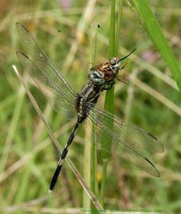 Libellule mangeant un insecte. Source : http://data.abuledu.org/URI/52bf0e28-libellule-mangeant-un-insecte