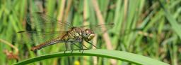 Libellule posée, ailes à plat. Source : http://data.abuledu.org/URI/47f3aed9-libellule-pos-e-ailes-plat