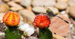 Libellule posée sur un cactus. Source : http://data.abuledu.org/URI/52bf0d80-libellule-posee-sur-un-cactus