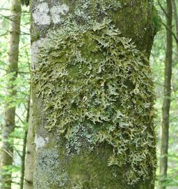 Lichen sur tronc de hêtre. Source : http://data.abuledu.org/URI/51391096-lichen-sur-tronc-de-hetre