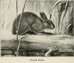 Lièvre des marais. Source : http://data.abuledu.org/URI/587fbf38-lievre-des-marais