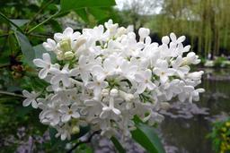 Lilas blanc. Source : http://data.abuledu.org/URI/50d64066-lilas-blanc