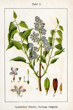 Lilas, planche botanique. Source : http://data.abuledu.org/URI/50d63f9f-lilas-planche-botanique