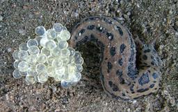 Limace léopard pondant ses oeufs. Source : http://data.abuledu.org/URI/538b9a35-limace-leopard-pondant-ses-oeufs