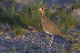 Limicole dans le parc d'Etosha en Namibie. Source : http://data.abuledu.org/URI/55063fbb-limicole-dans-le-parc-d-etosha-en-namibie