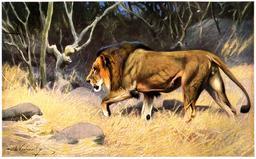Lion. Source : http://data.abuledu.org/URI/52b8933e-lion