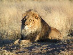 Lion allongé. Source : http://data.abuledu.org/URI/47f4bbfb-lion-allong-