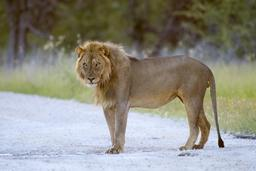 Lion dans le parc d'Etosha en Namibie. Source : http://data.abuledu.org/URI/55063bc4-lion-dans-le-parc-d-etosha-en-namibie