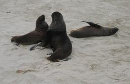 Lion de mer avec deux femelles sur une plage. Source : http://data.abuledu.org/URI/5372a790-lion-de-mer-avec-deux-femelles-sur-une-plage