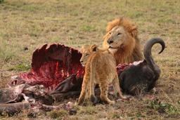 Lion et lionceau dévorant leur proie. Source : http://data.abuledu.org/URI/528b6e87-lion-et-lionceau-devorant-leur-proie