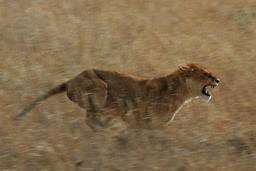 Lionne en chasse. Source : http://data.abuledu.org/URI/528b5fd9-lionne-en-chasse