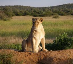 Lionne en Namibie. Source : http://data.abuledu.org/URI/528b5839-lionne-en-namibie