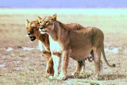 Lionne enceinte. Source : http://data.abuledu.org/URI/528bd93c-lionne-enceinte-