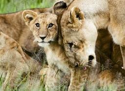 Lionne et lionceau. Source : http://data.abuledu.org/URI/528b6fad-lionne-et-lionceau