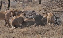 Lionnes dévorant un buffle. Source : http://data.abuledu.org/URI/528b62c2-lionnes-devorant-un-buffle