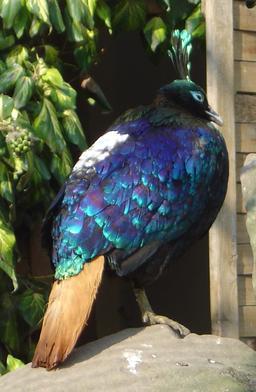 Lophophore resplendissant au Jardin Acclimatation. Source : http://data.abuledu.org/URI/50ef574e-lophophore-resplendissant-au-jardin-acclimatation