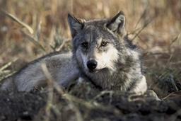 Loup gris. Source : http://data.abuledu.org/URI/50450854-loup-gris