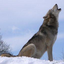 Loup qui hurle. Source : http://data.abuledu.org/URI/47f5ccdd-loup-qui-hurle