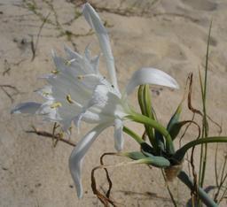 Lys maritime. Source : http://data.abuledu.org/URI/518a460f-lys-maritime