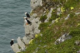 Macareux cornus sur l'île de Nunivak. Source : http://data.abuledu.org/URI/51338982-macareux-cornus-sur-l-ile-de-nunivak