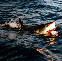 Mâchoire de requin. Source : http://data.abuledu.org/URI/5020c95f-machoire-de-requin