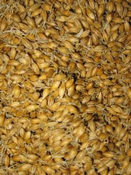 Malt. Source : http://data.abuledu.org/URI/50b616e9-malt