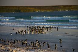 Manchots aux îles Flakland. Source : http://data.abuledu.org/URI/5373abdc-manchots-aux-iles-flakland