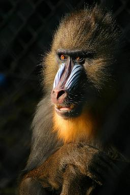 Mandrill. Source : http://data.abuledu.org/URI/503e09da-mandrill
