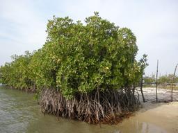 Mangrove à Carabane au Sénégal. Source : http://data.abuledu.org/URI/54936681-mangrove-a-carabane-au-senegal
