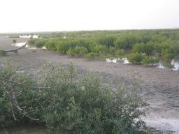 Mangrove à marée basse au Sénégal. Source : http://data.abuledu.org/URI/52e5092d-mangrove-a-maree-basse-au-senegal