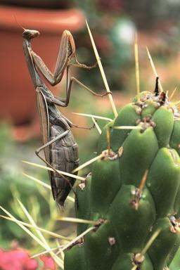 Mante religieuse accrochée à un cactus. Source : http://data.abuledu.org/URI/50f5b387-mante-religieuse-accrochee-a-un-cactus